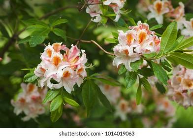 RHODODENDRON JOCK BRYDON, FLOWERS