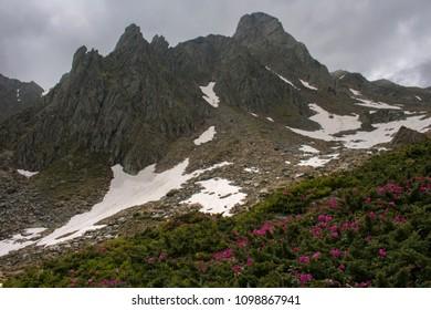 Rhododendron kotschyi in Carphatian mountains