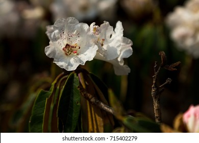 Rhododendron of the Langtang Valley. Spring 2017. Langtang National Park, Nepal.