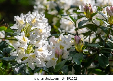 Rhododendron Madame Masson white flowers with yellow dots in bloom, flowering evergreen shrub, green leaves on branches