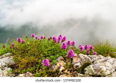 """Rhododendron myrtifolium bush growing between rocks, at the end of """"Wild Ferenc"""" via ferrata route, on Suhardul Mic peak in Bicaz Gorge, near Lacul Rosu, Neamt county, Romania. Hazy clouds in the back"""