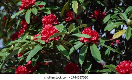 Rhododendron nepali flowers, green nature background