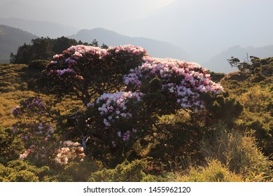 Rhododendron on Hehuan Mountain in Taiwan