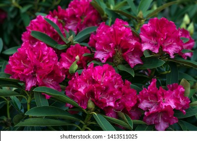 Rhododendron Pearces American Beauty. Shrub of azaleas in ruby color. Scarlet, red, azaleastrum. Alpine rose is bloom. Potted garden. Hot pink flowers. Floral background.