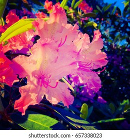 Rhododendron. Pink purple flowers in the park