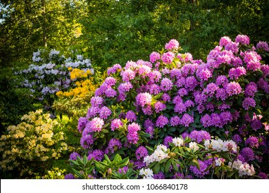 Rhododendron plants in bloom with flowers of different colors.Azalea bushes in the park with different flower colors.Rhododendron plants in bloom