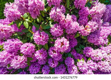 Rhododendron plants in bloom. Fresh flowers in bloom. Aroma fragrance. Blossoming bush. Rhododendron pink flower blooming.