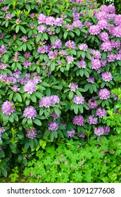Rhododendron with purple blossom