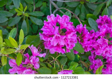 Rhododendron  shrub (Ericaceae family) with bright pink-violet flowers