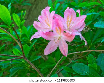 Rhododendron  shrub (Ericaceae family) with pink flowers