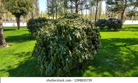 Rhododendron shrub, having big, imbricate buds & large, dark green leaves, grows in a green tree lawn. Tightly closed scaled rhododendron flower buds with large leaves on a shrub in spring.