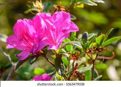Rhododendron simsii (Indian Azalea, Sims's Azalea) ; The attractively wild rose, magenta or dark red shade, ruffle petals. A shrub that grows at altitudes 500–2700 meters.  glossy leaves.