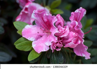 Rhododendron simsii (Indian Azalea, Sims's Azalea, Mountain Rose, Mountain Peony) The attractively wild pink rose, ruffle petals. A shrub that grows at altitudes 500–2700 meters, glossy leaves.
