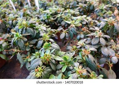 Rhododendron simsii (Indian Azalea, Sims's Azalea, Mountain Rose, Mountain Peony)
