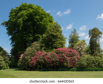Rhododendron in Spring in a Country Cottage Garden Near the Village of Mere in Rural Wiltshire, England, UK
