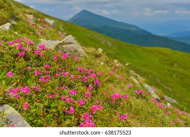 Rhododendron in summer mountains