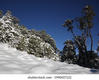 The rhododendron trees with snow on their leaves, on the way down from poonhill,nepal.