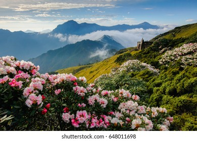 Rhododendron, Yushan Rhododendron (Alpine Rose) Blooming by the Trails of Taroko National Park, Taiwan