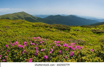 Rhododendrons bloom in a beautiful location in the mountains. Flowers in the mountains. Blooming rhododendrons in the mountains on a sunny summer day. Carpathian, Ukraine.