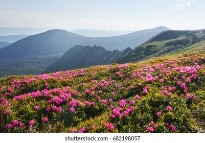Rhododendrons bloom in a beautiful location in the mountains. Flowers in the mountains. Blooming rhododendrons in the mountains on a sunny summer day. Dramatic unusual scene. Carpathian, Ukraine.