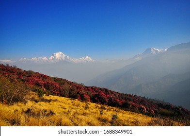 Rhododendrons blooming on the mountain, Poon hill Annapurna circuit  Nepal