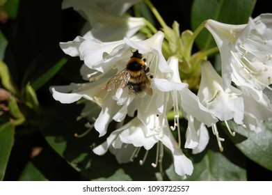 Rhododendrons blossom with a bumblebee sucking honey from it