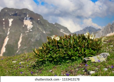 Rhododendrons grow in the Caucasian mountains