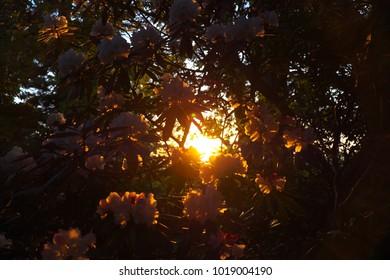 Rhododendrons shining in the morning sun Yakushima