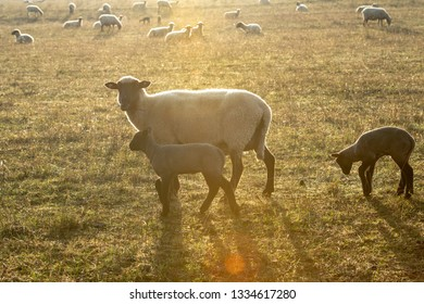 Rhoen- sheep with black and white wool  with little lambs in backlight