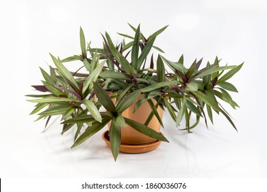 Rhoeo plants in a pot, Tradescantia spathacea, Boat Lily, Moses in a Basket, Moses-in-the-Cradle, Oyster Plant, White-flowered; two colored foliage, being green on top and purple underneath.