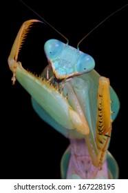 Rhombodera sp mantis during cleaning her grasper