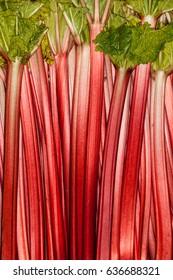 Rhubarb full rose red background. Rheum. Macro. Colored background filled with rhubarb strips. Rhubarb is an edible vegetable.