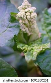 Rhubarb - heum rhabarbarum