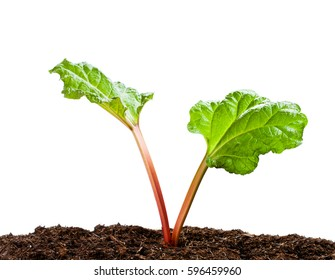 Rhubarb  plant isolated on white