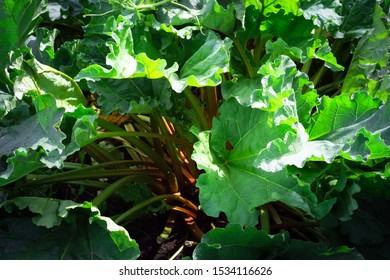 Rhubarb plant the natural background of cultivation of plants