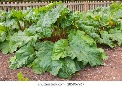 Rhubarb plants growing in a vegetable kitchen garden