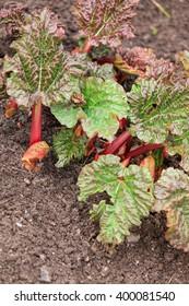 rhubarb (Rheum rhabarbarum)