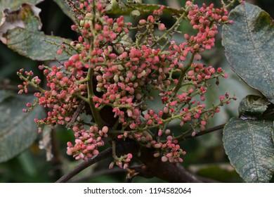 Rhus chinensis (Chinese sumac) fruits