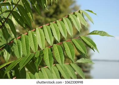 Rhus typhina leaves, Staghorn sumac leaves, decorative tree, family Anacardiaceae, invasive american species, sumac leaf