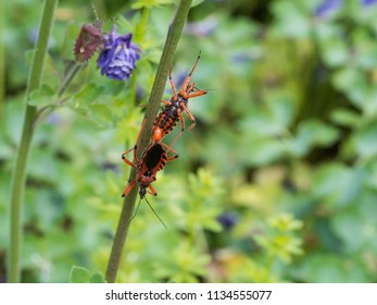 Rhynocoris iracundus is a species of assassin and thread-legged bugs belonging to the family Reduviidae