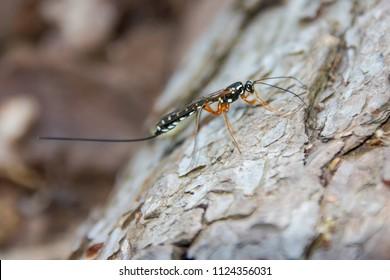 Rhyssa persuasoria, giant ichneumon, sabre wasp
