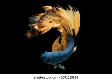 Rhythmic of Betta fish, siamese fighting fish betta splendens (Halfmoon  Macaw Blue & Yellow),isolated on black background.