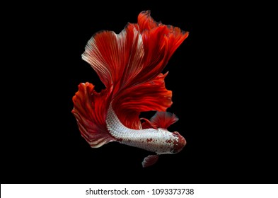 Rhythmic of Betta fish, siamese fighting fish betta splendens (Halfmoon  Red  Dragon),isolated on black background.