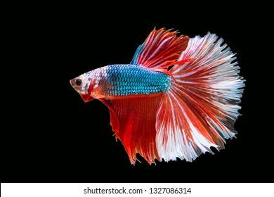 Rhythmic of Betta fish, Siamese fighting fish, Betta splendens Pla-kad  Thai, popular aquarium fish. Big ears dumbo  Blue Red and white halfmoon long tail Betta Fighting isolated on  black background.