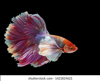 Rhythmic of Betta fish, Siamese fighting fish, Betta splendens Pla-kad  Thai, popular aquarium fish. Big ears dumbo Red White half moon long tail Betta Fighting isolated on  black background.