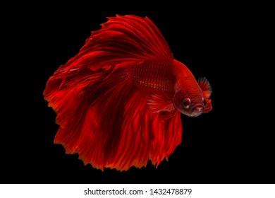 Rhythmic of Betta fish, siamese fighting fish, betta splendens (Halfmoon red dragon betta ),Red fighting fish,isolated on black background.