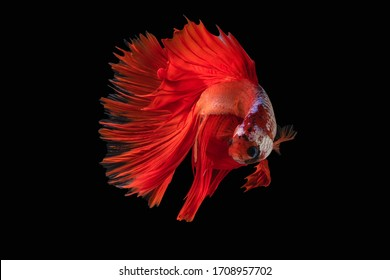 Rhythmic of Betta fish, siamese fighting fish betta splendens (Halfmoon red dragon betta ),isolated on black background.artistic pattern color