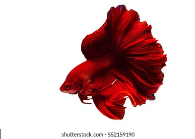 Rhythmic of Betta fish, siamese fighting fish betta splendens (Halfmoon Super Red betta ),isolated on white background.