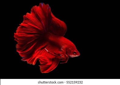 Rhythmic of Betta fish, siamese fighting fish betta splendens (Halfmoon Super Red betta ),isolated on black background.