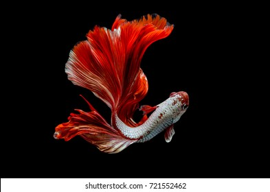 Rhythmic of Betta fish, siamese fighting fish betta splendens (Halfmoon red dragon  betta ),isolated on black background.